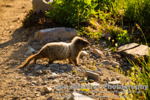 Young marmot hesitantly crossing our path