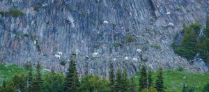 Goats on the cliffs above Glacier Basin